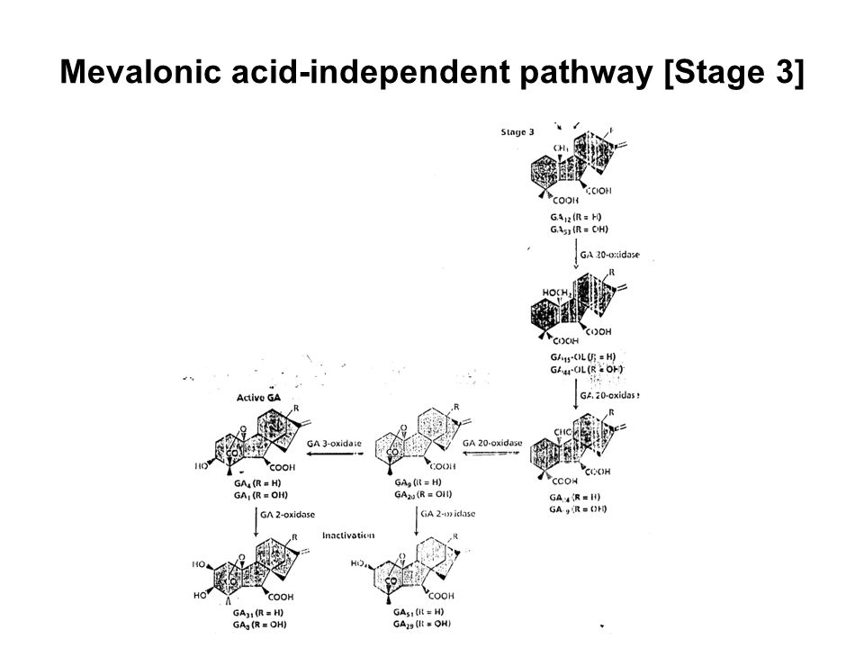 Mevalonic acid-independent pathway [Stage 3]